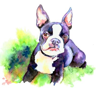 bostonbulldog
